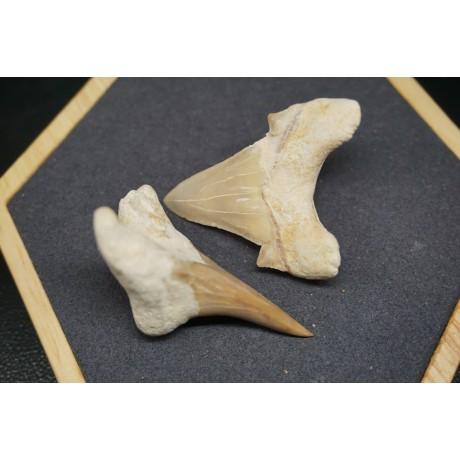 Fossile de Dent de Requin